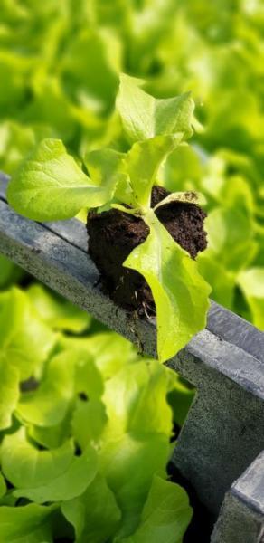Gärtnerei Maier Salatpflanzen Gemüsepflanzen Hornveilchen Stiefmütterchen