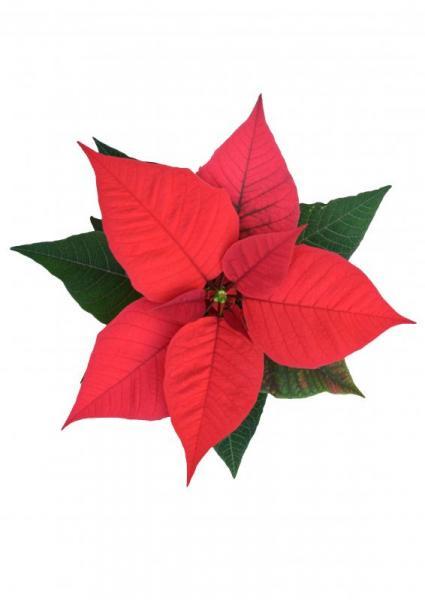 einzelne rote Euphorbia Blüte